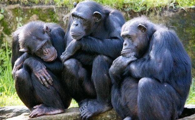 Como los humanos, los chimpancés se vuelven más selectivos con los amigos a medida que envejecen