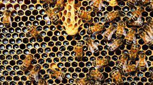 Se conocieron los patrones matemáticos que siguen las abejas para fabricar sus panales perfectos