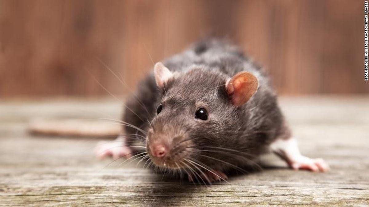 Intensas lluvias causan invasión de ratas en Australia