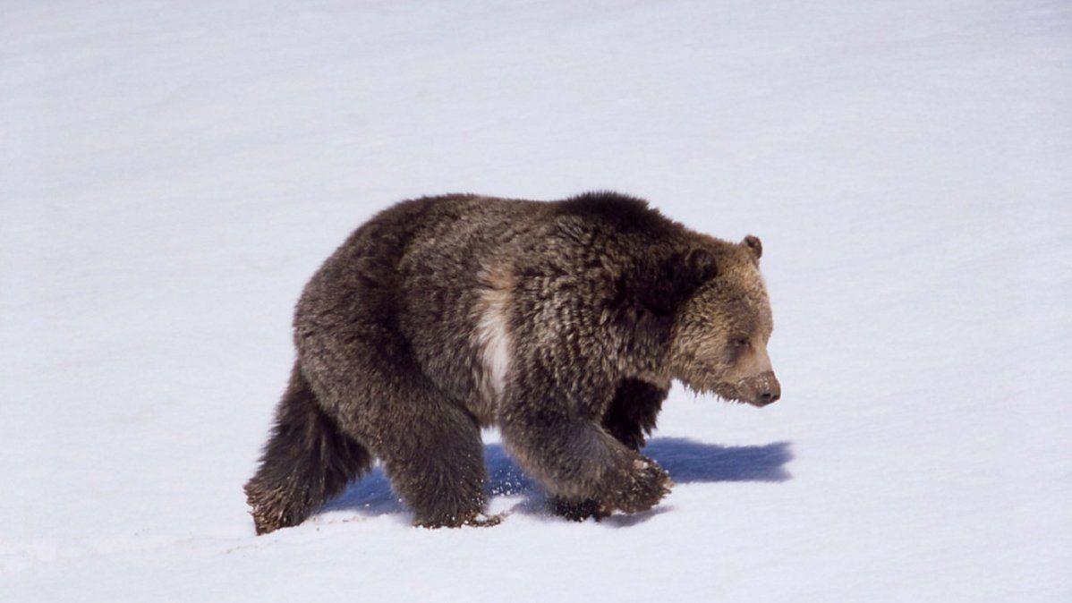 Video: un oso persigue a un esquiador en plena bajada
