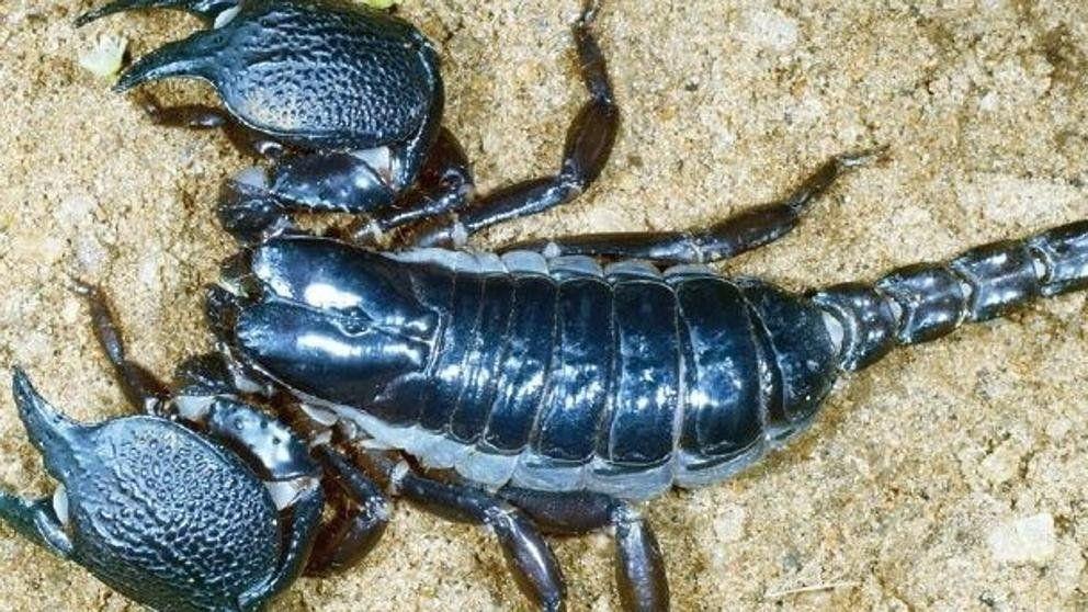 Conocé la última especie de escorpión supervenenoso que descubrió la ciencia
