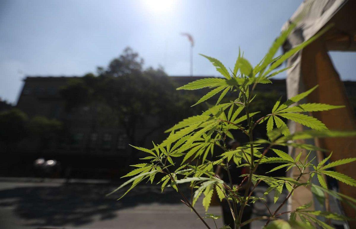 En Brasil probarán un derivado de la marihuana para tratar el Covid-19