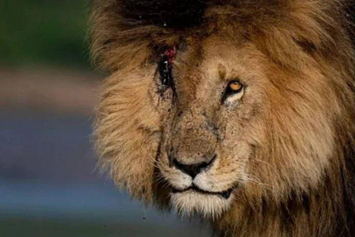 Falleció el león más famoso del mundo, Scarface