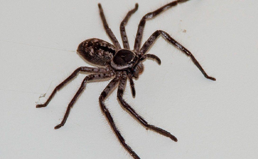 Vive con una araña gigante en su casa.