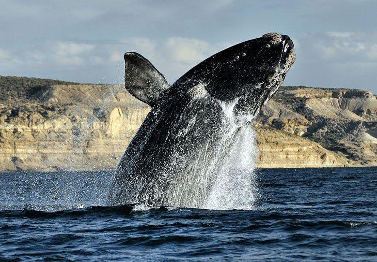 Con un satélite lograron determinar el recorrido de la ballena Franca Austral