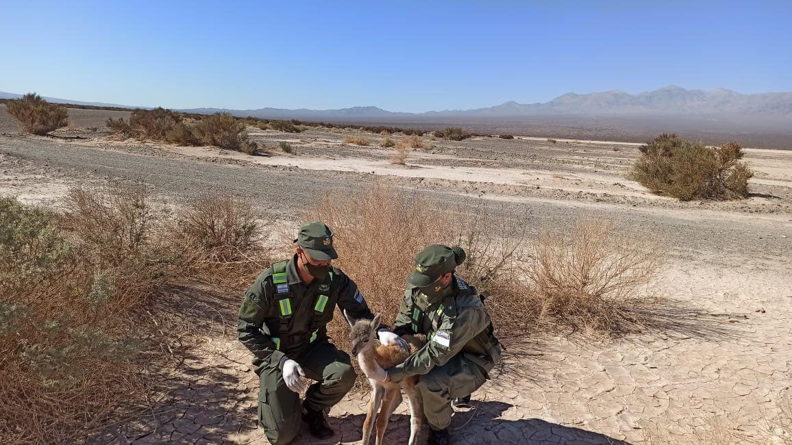 Rescataron a un guanaco con signos de desnutrición