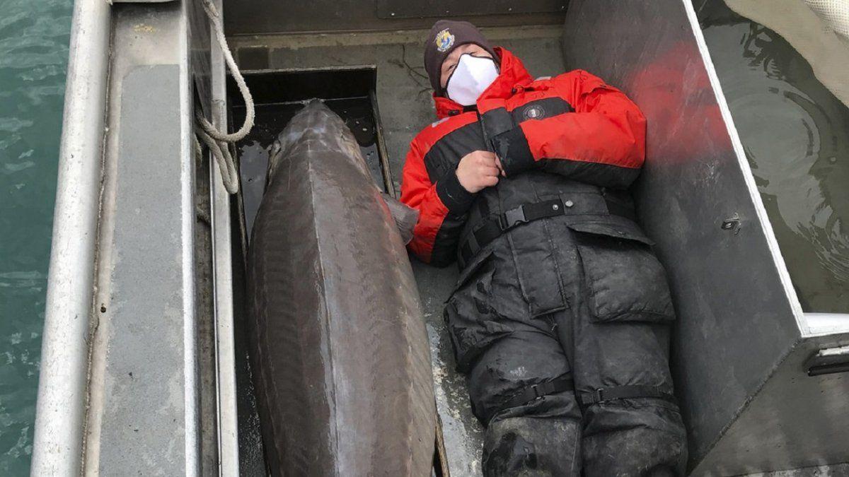 Pescan un esturión del tamaño de un humano