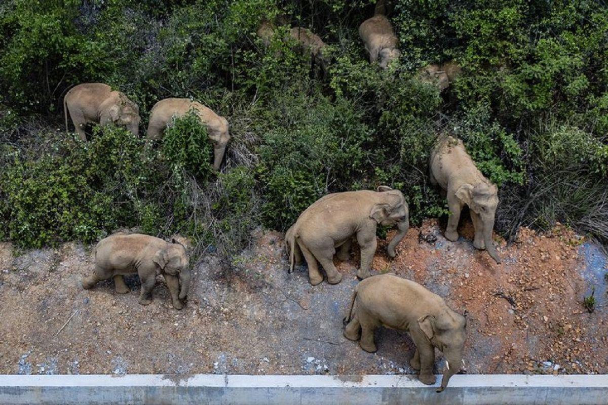 Una misteriosa marcha de elefantes tiene en vilo a China