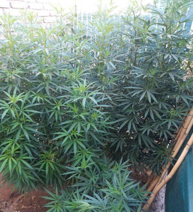 Marihuana en Valle Grande