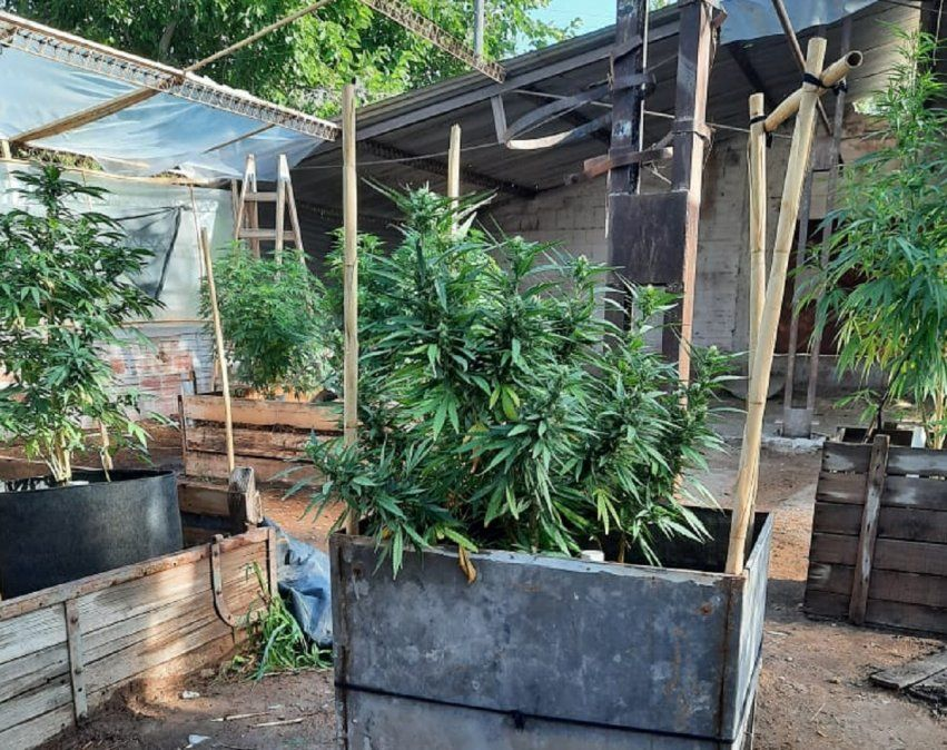 Encontraron plantaciones de cannabis en un invernadero en Ullum
