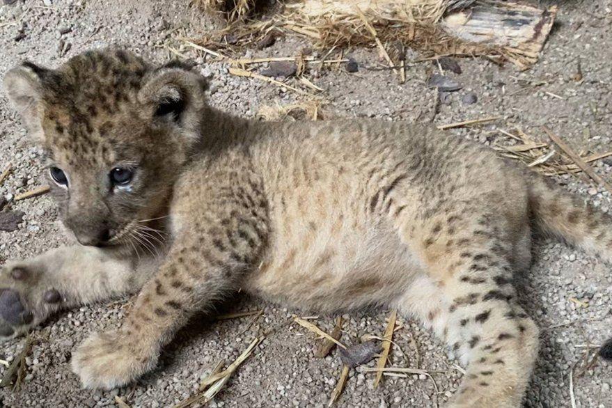 Nació el primer cachorro de león, concebido por inseminación artificial