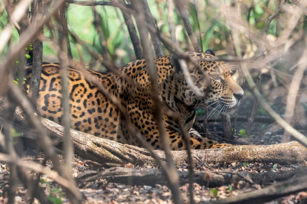 Soltaron yaguaretés en el Parque Iberá y ya suman seis los ejemplares liberados
