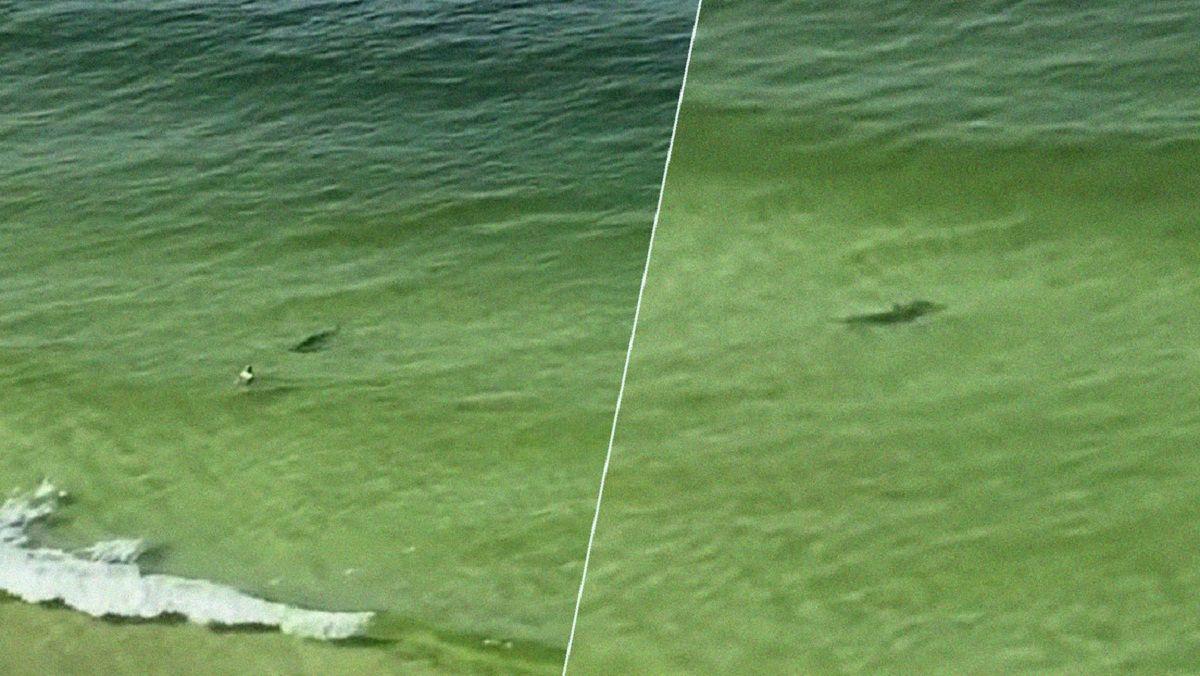 Video: así avanzó un tiburón martillo hacia un bañista