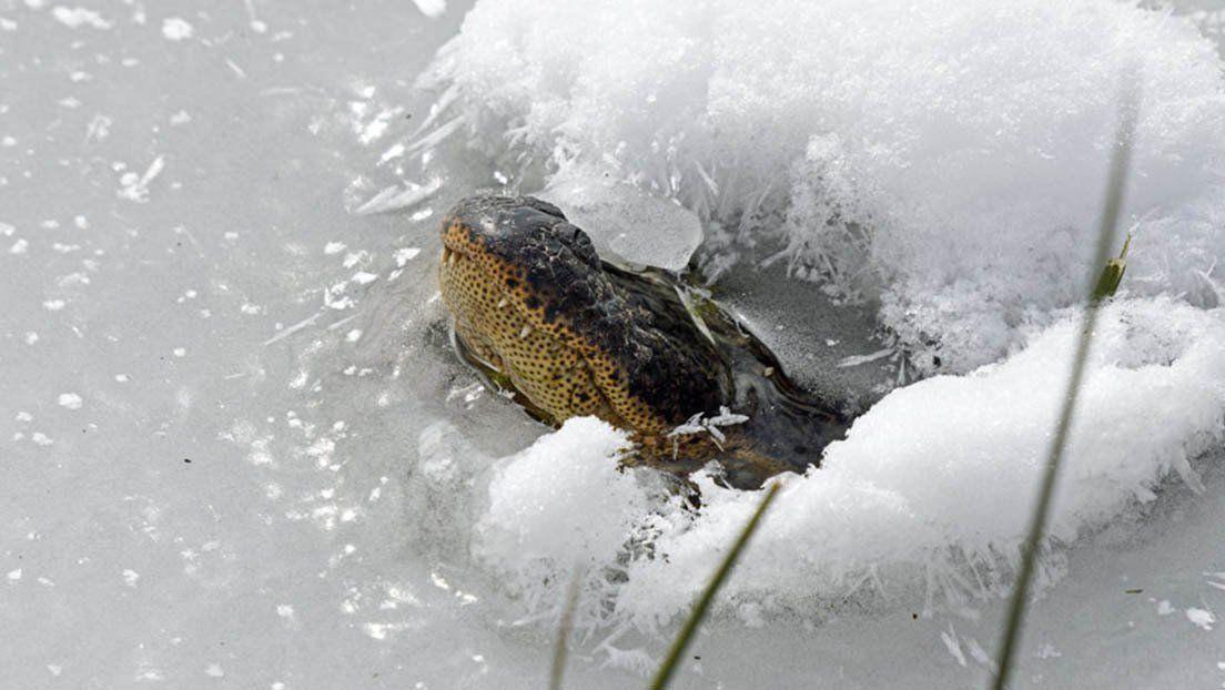 Cómo sobreviven los caimanes atrapados en los pantanos congelados
