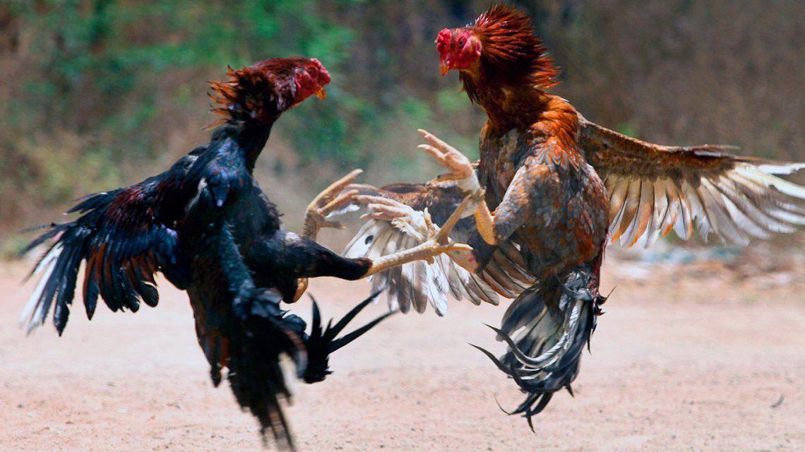 Riña de gallos.