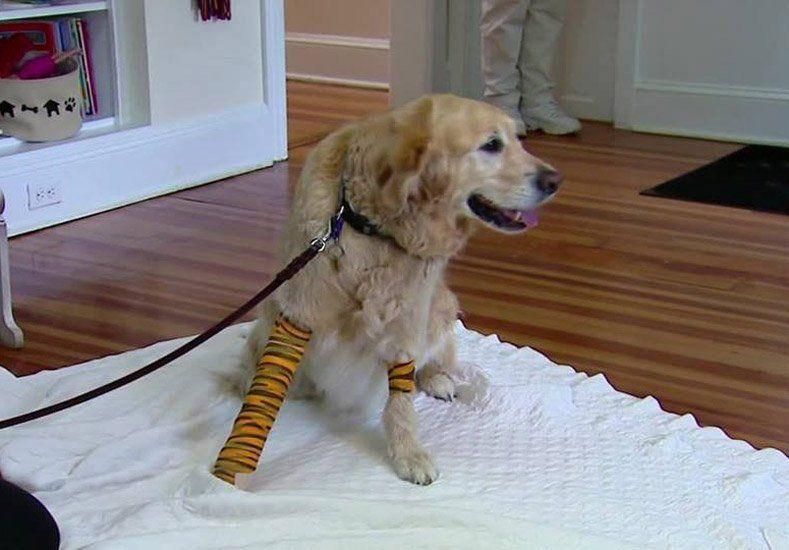 Este es Figo, el heroico perro que salvó a su dueña ciega en un accidente