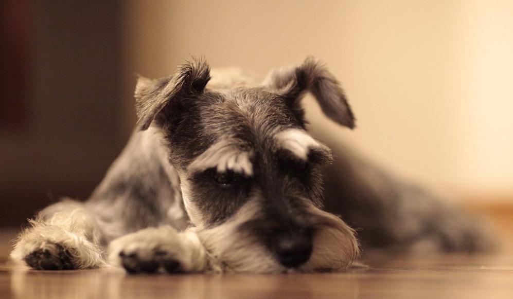 Todo por su perra: gastará 45 mil dólares en una cirugía para tratar de salvarla