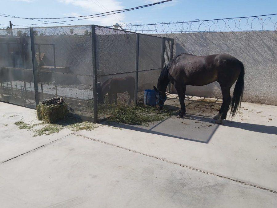 Robaron cuatro caballos: la Policía los halló y busca al ladrón
