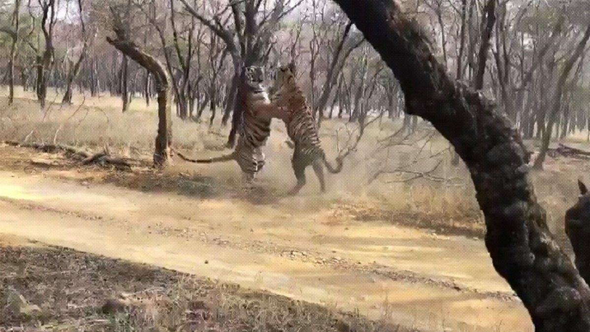 Captura del enfrentamiento de los dos tigres.