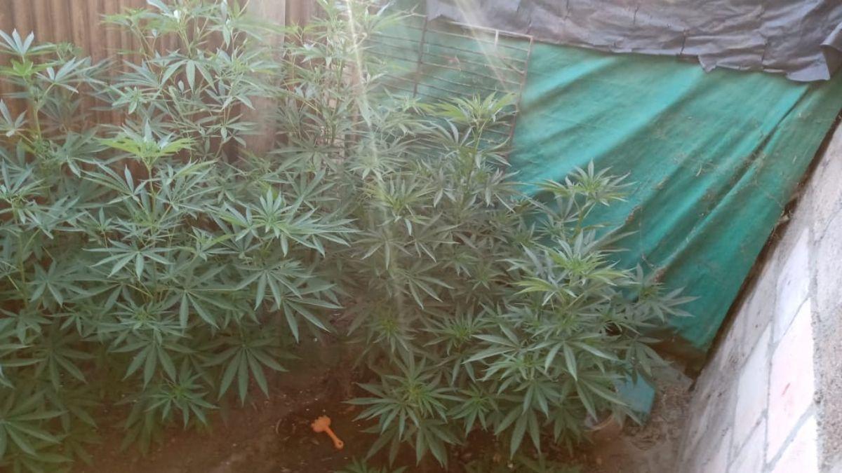 Tenía 21 plantas de marihuana y una mujer quedó detenida