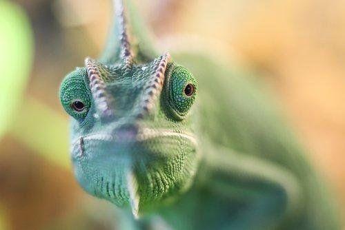 Hallaron una especie d camaleón que no se veía hace más de 100 años