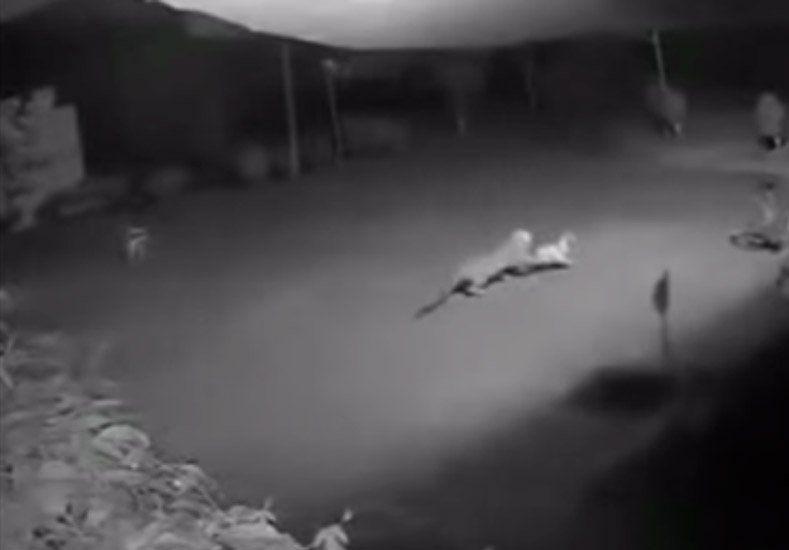 Un puma ingresó a un barrio privado y cazó a un perro