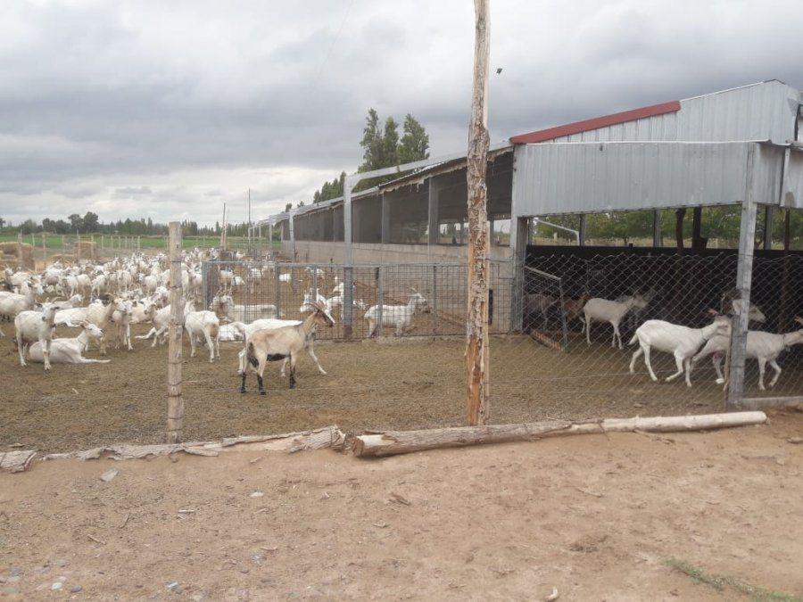 Robaron dos cabras y los atraparon mientras estaban comiéndose una