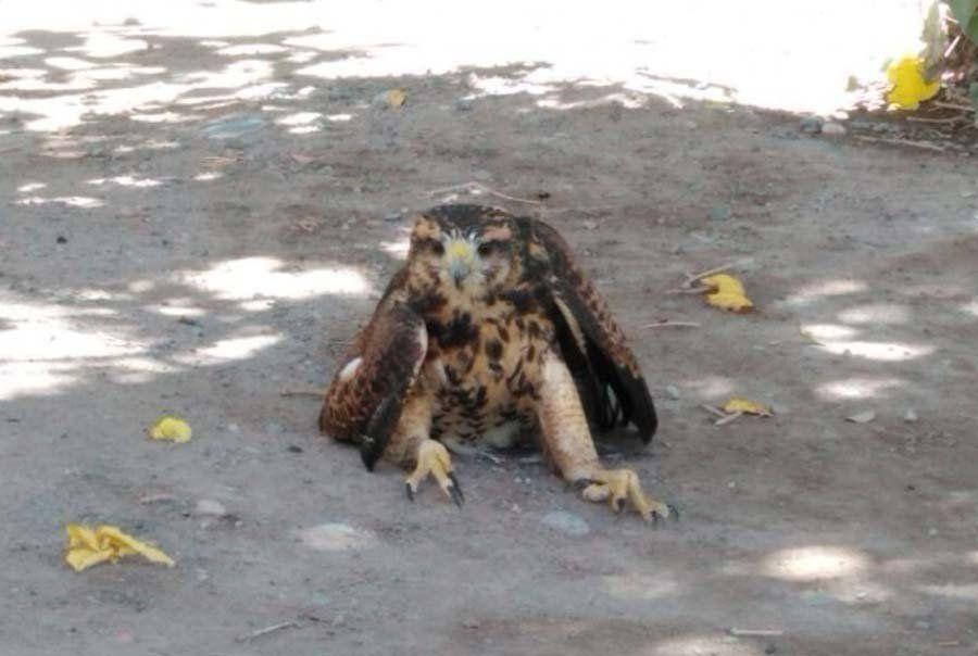 Rivadavia: salvaron a un gavilán que estaba envenenado