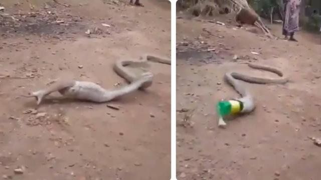 Una víbora vomitó una botella de plástico