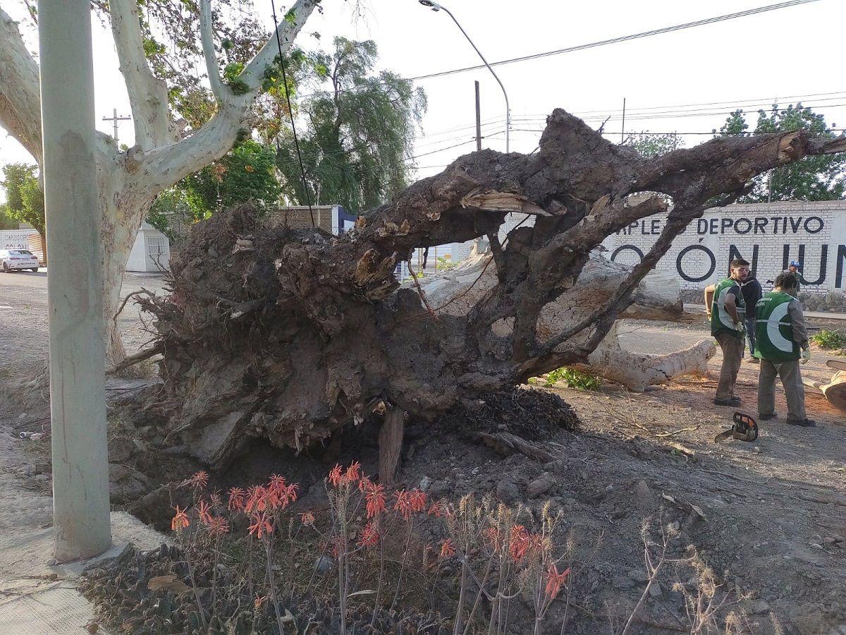 Un árbol cayó sobre dos autos producto del viento Sur. Foto: sanjuan8.com.